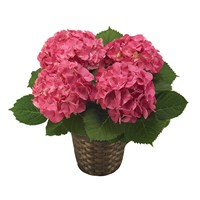 Pink Hydrangea plant for sale from Ingallina's Gifts
